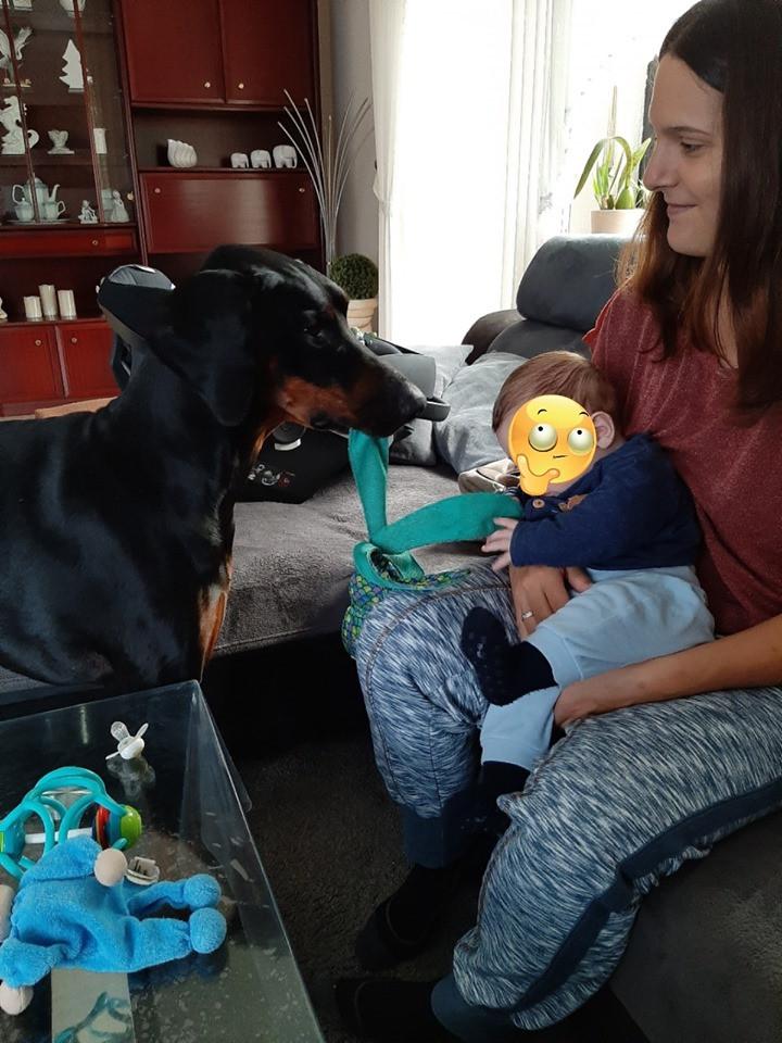 Dobermann Tyson hält Baby Spielzeug hin