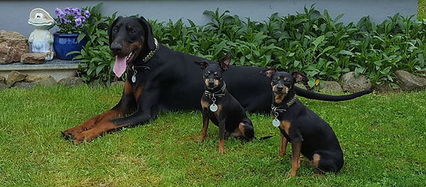 Dobermann Tyson mit Zwergpinscher Spike und Lissy