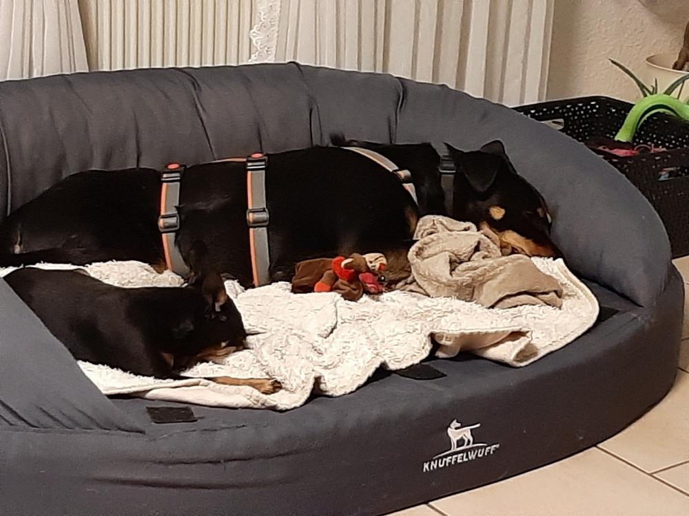Josie und Spike schlafen gemeinsam im Hundebett