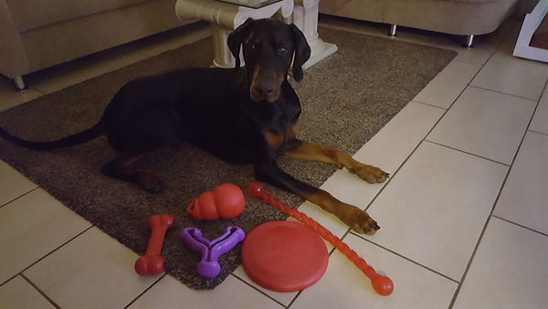 Dobermann Tyson mit Spielzeug