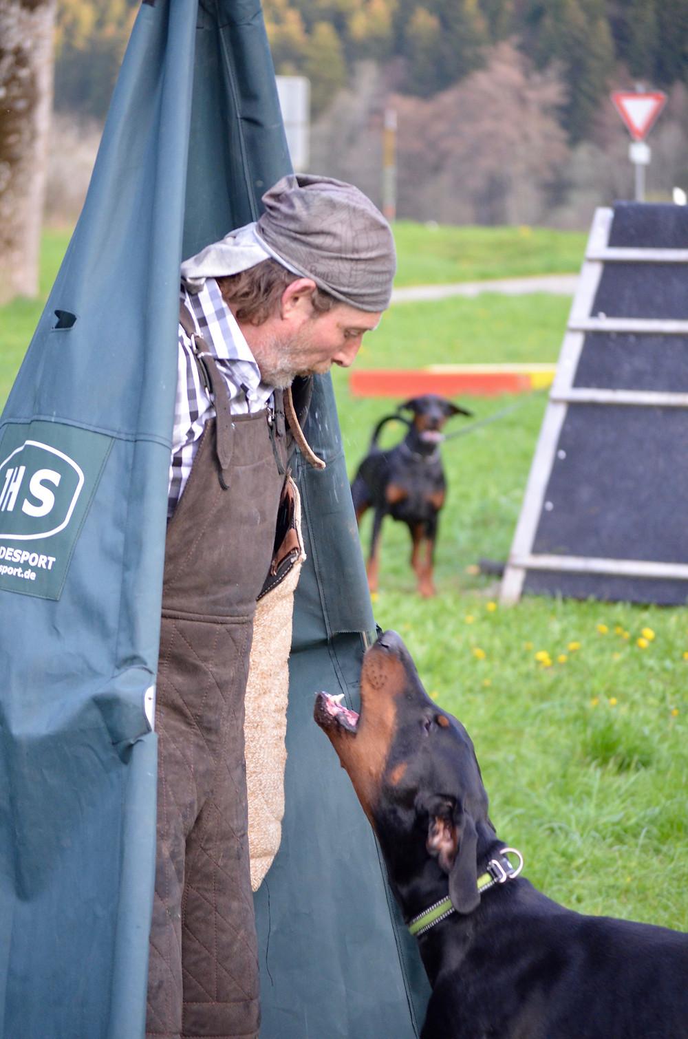 Hundesport IGP: Dobermann verbellt Person im Versteck