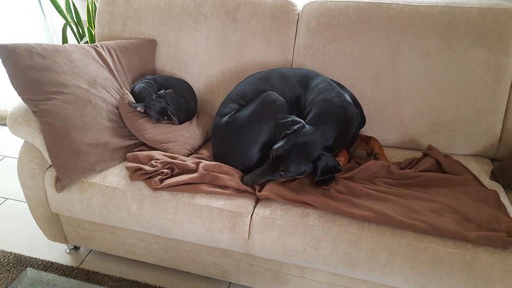 Dobermann Tyson und Zwergpinscher Lissy schlafen auf Sofa