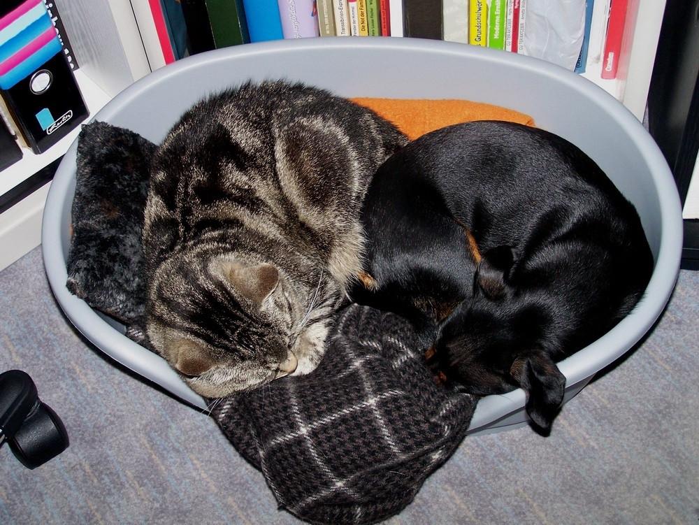 Katze Susi schläft mit Zwergpinscher Lissy zusammen im Körbchen