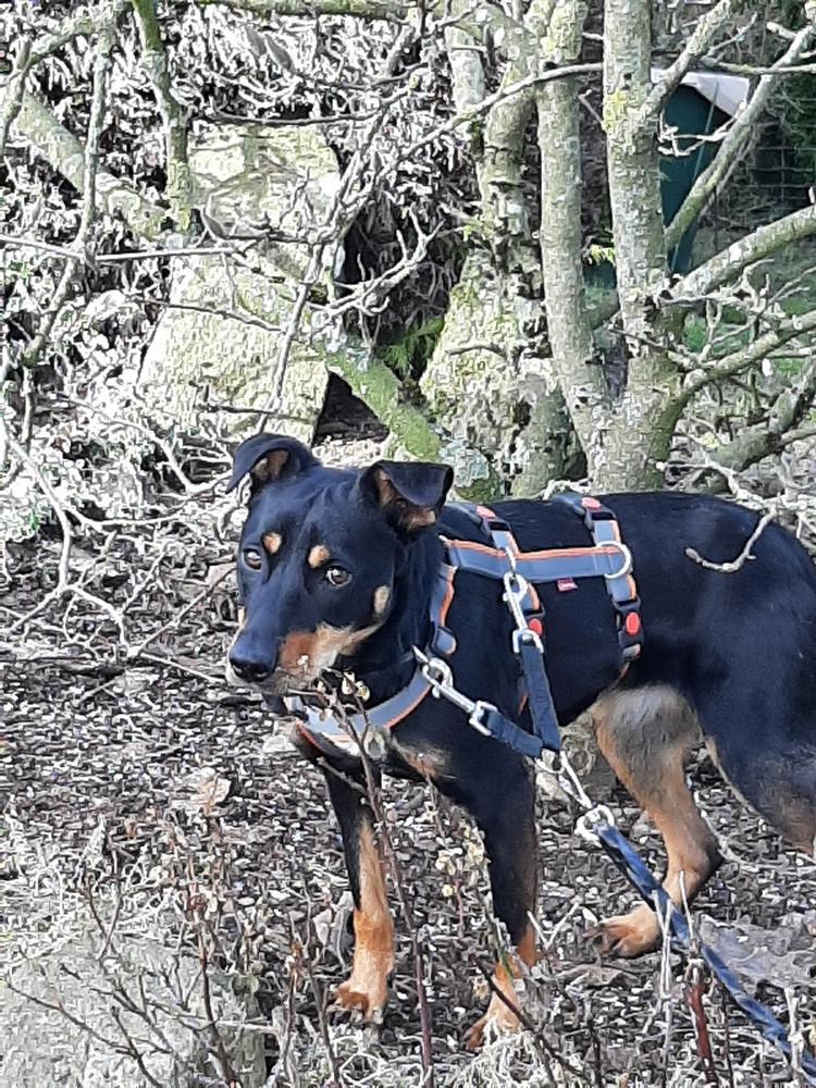 Doppelsicherung beim Hund: Gekürzte Koppelleine verbindet Halsband mit Sicherheitsgeschirr. Daran befestigt ist die Schleppleine.