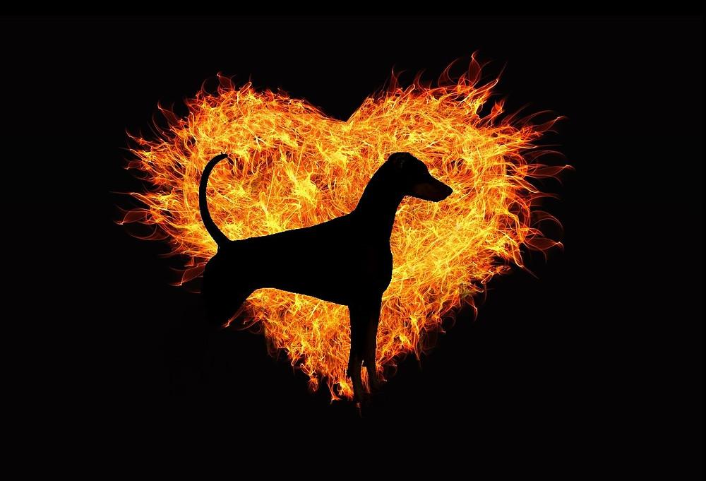 Dobermann in flammendem Herz