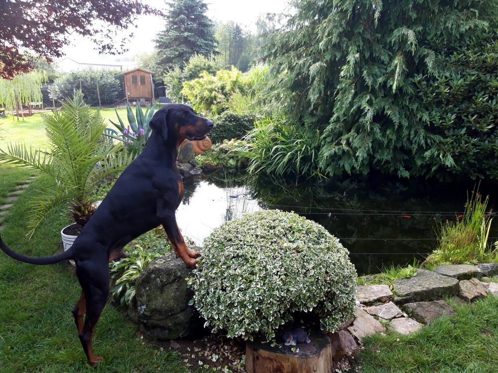 Dobermann Tyson am Gartenteich