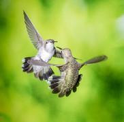 Two Black Chinned Hummingbirds