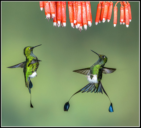 White-Booted Racket-Tailed Hummingbird