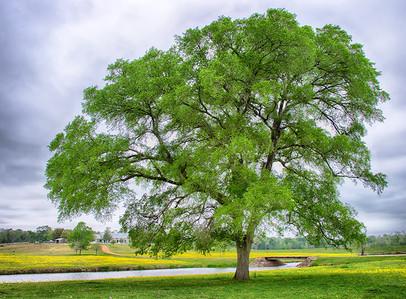 Pretty Tree & Wildflowers - Texas