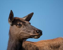 One Lone Elk