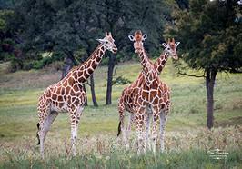 Oh My - a Two-Headed Giraffe