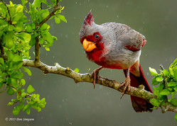 A Pyrrhuloxia in the Mist