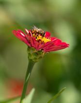Regal Pollinator