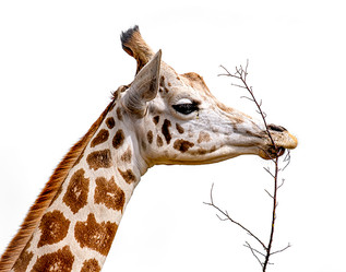 Giraffe Munchin' Lunch