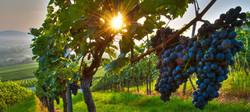 grapes on vine.jpg