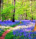 Bluebell-Woods 8.jpg