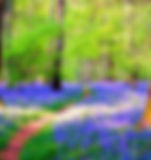 Bluebell-Woods 8.jpg