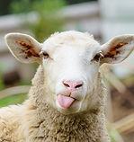 Funny-Sheep-Facts[1].jpg
