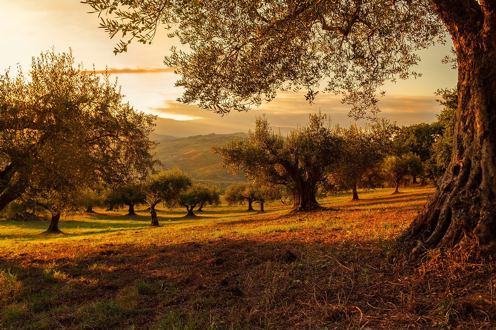 olijfboomgaard zonsondergang.jpg