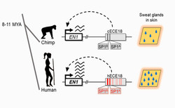 Genetic basis for the sweaty human ape