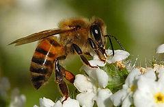 honeybee from MCB.jpg