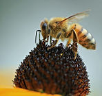 honeybee-1132965_1920.jpg