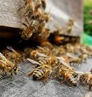 bees-1385497_1920.jpg