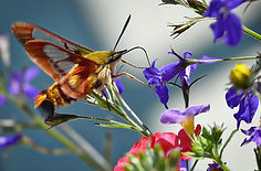 hummingbird-sphinx-moth-1494196_1920.jpg