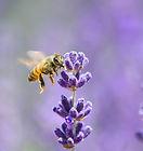 Honeybee-495275417_3289x2193.jpeg