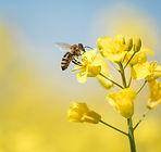 honeybee-collects-honey---rape-blossom-i