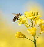 honeybee-collects-honey---rape-blossom-i