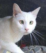 White cat sitting on car tire.