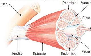 Morfologia do Músculo Esquelético 1