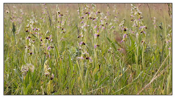 Ophrys abeille. Ophrys apifera. Bee orchid. 29/05/2017 Essonne