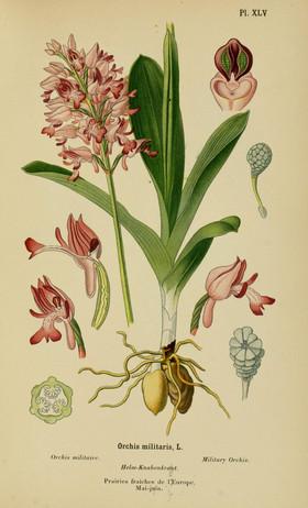 Orchis militaris. Orchis militaire. Military orchid. Album des orchidées d'Europe Correvon 1899