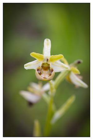 Ophrys sphegodes 63-1.jpg
