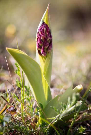 Orchis purpurea. Orchis pourpre. Purple orchid. Aude 01/05/19