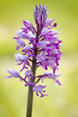 Orchis militaris. Orchis militaire. Military orchid. Seine et Marne 20/05/18