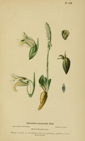 Spiranthes spiralis. Spiranthes d'automne. Auton lady's tresses. Album des orchidées d'Europe Correvon 1899