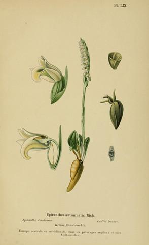 Spiranthes spiralis. Spiranthes d'automne. Auton lady's tresses. Album des orchidées d'Europe Correvon 1899