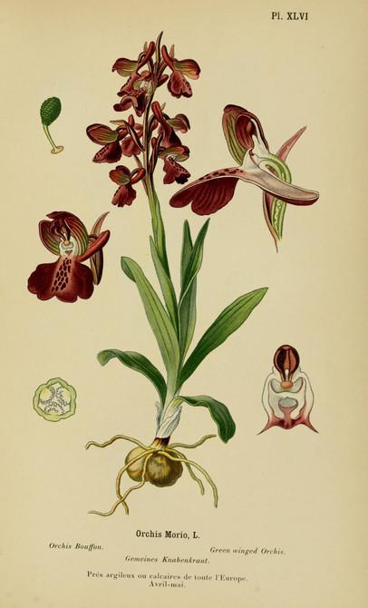 Anacamptis morio. Orchis bouffon. Green winged orchid. Album des orchidées d'Europe Correvon 1899