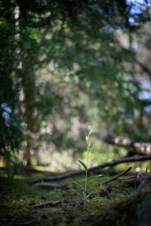 Cephalanthera damasonium. Cephalanthère à grandes fleurs. Large white helleborine. Essonne 18/05/20