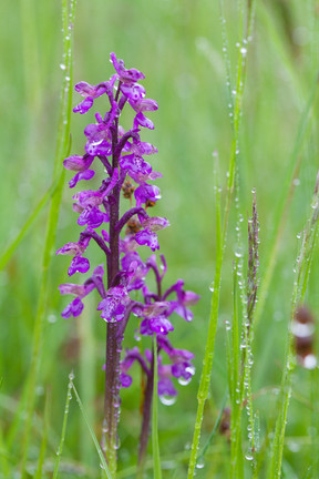 Anacamptis morio. Orchis bouffon. Green winged orchid. Jura 22/05/13