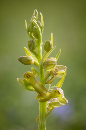 Coeloglossum viride. Orchis grenouille. Frog orchid. Aveyron 29/05/18