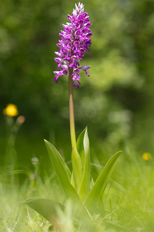 Orchis militaris. Orchis militaire. Military orchid. Jura 06/05/18