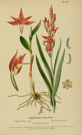 Cephalanthera rubra. Cephalanthère rouge. Red helleborine. Album des orchidées d'Europe Correvon 1899