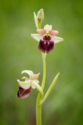 Ophrys sphegodes 42-3.jpg