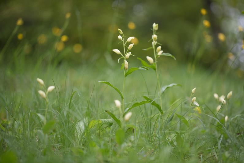 Cephalanthera damasonium. Cephalanthère à grandes fleurs. Large white helleborine. Aveyron 29/05/18