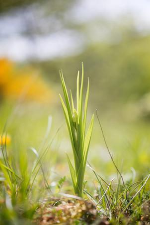 Cephalanthera longifolia. Cephalanthère à longues feuilles. Sword leaved helleborine. Aude 29/04/19