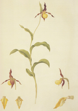 Cypripedium calceolus (var Parviflorum)